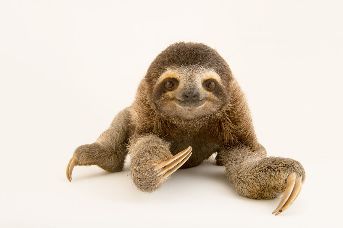 The brown-throated sloth (Bradypus variegatus) has a mouth shaped in a perpetual smile and uses its ...