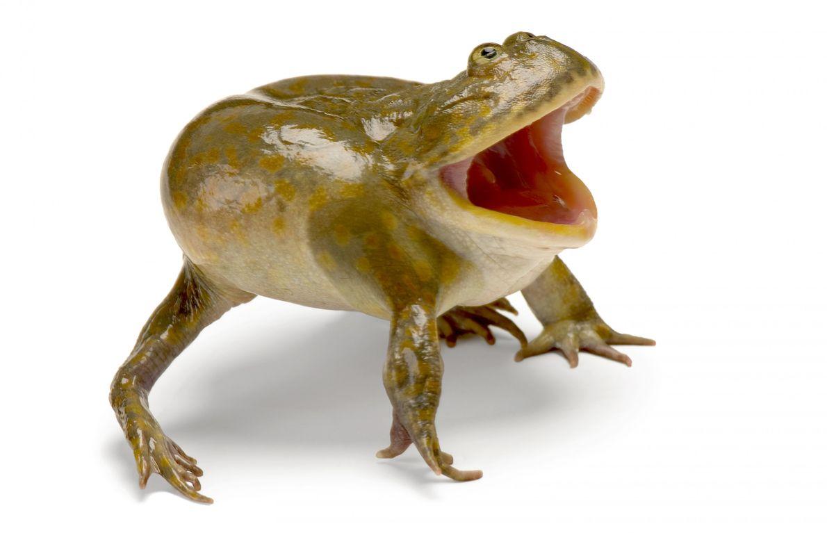 Status: Least Concern Budgett's frog ('Lepidobatrachus laevis') of South America stalks prey in standing pools of water ...