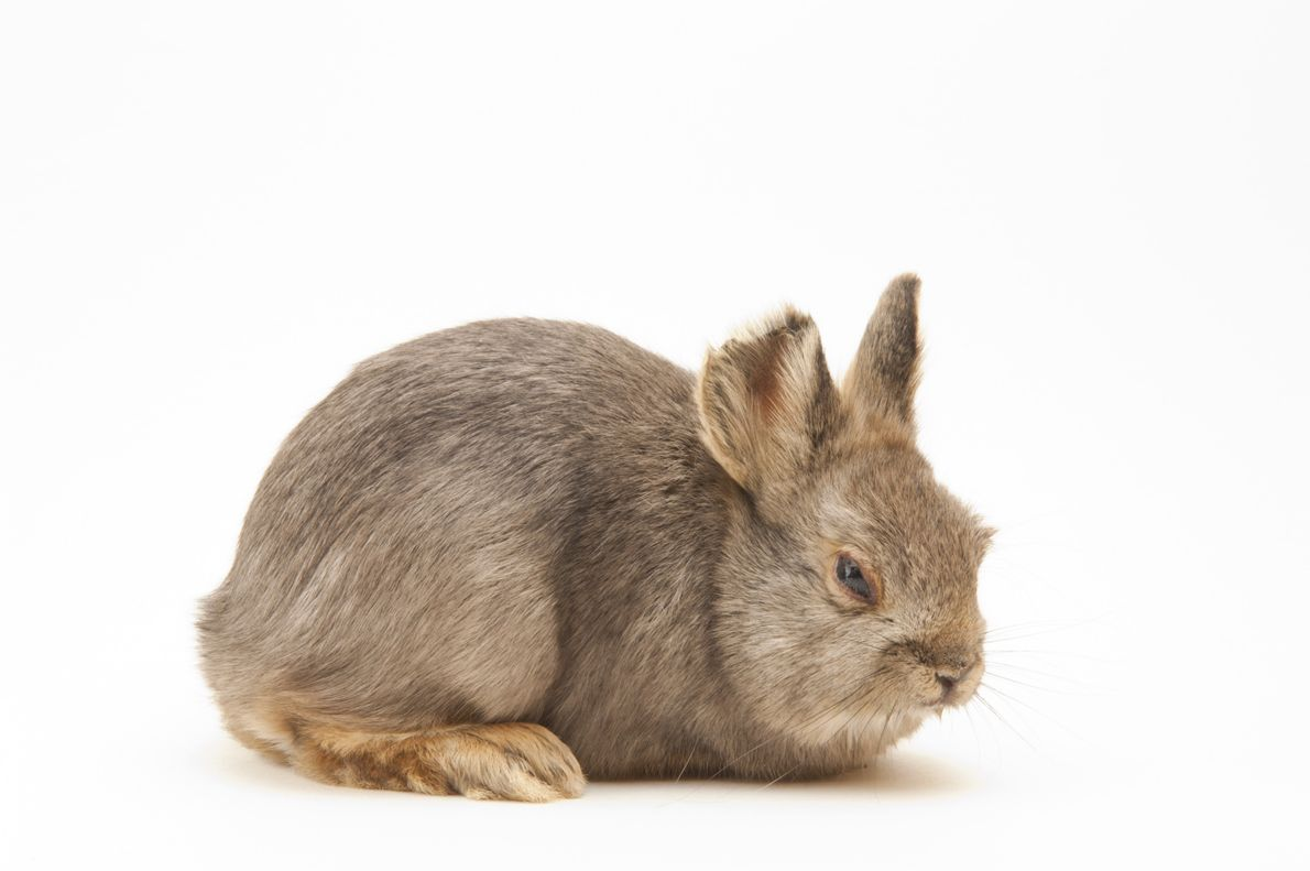 Though the pygmy rabbit (Brachylagus idahoensis) species as a whole is listed as low risk, this ...