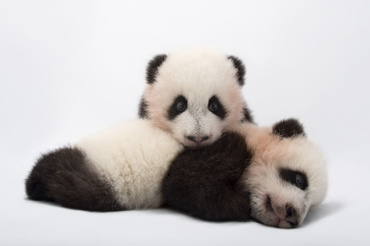 Bamboo is the way to the heart of the giant panda (Ailuropoda melanoleuca), which eats for ...
