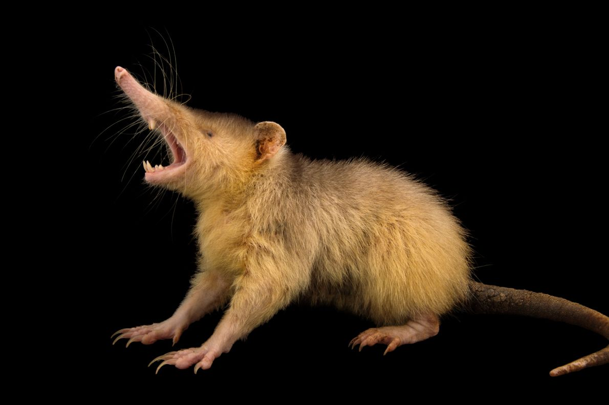 Endangered by shrinking forest habitats in Haiti and the Dominican Republic, the mainly nocturnal Hispaniolan solenodon ...