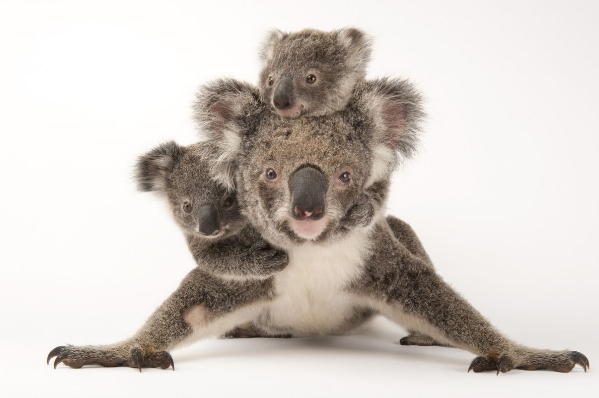 The koala usually gives birth to one joey at a time. It's a marsupial, not a ...