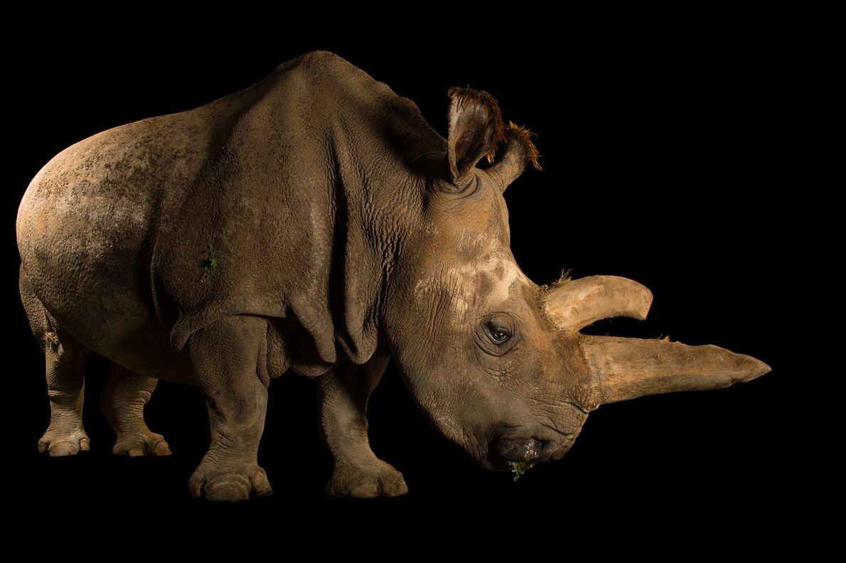 Second largest land mammal after the elephant, the northern white rhinoceros has been brought to near ...