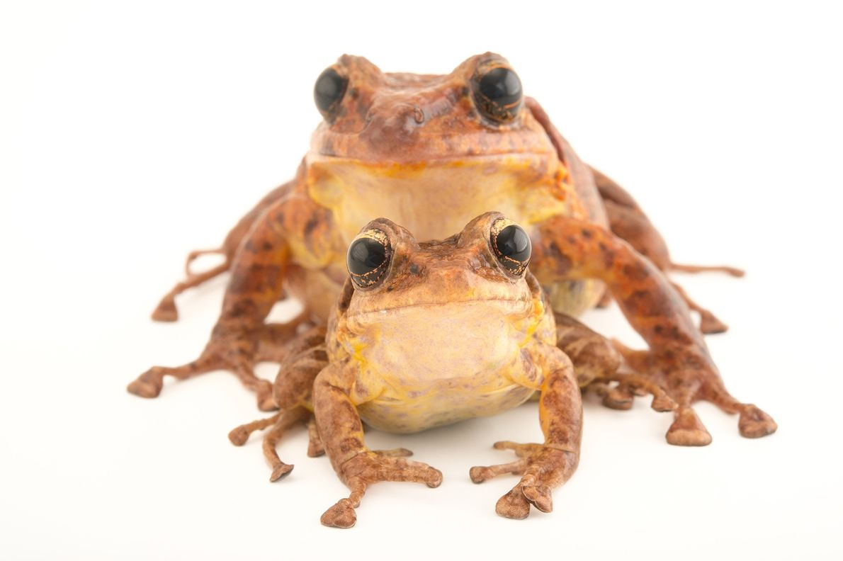 Status: Critically Endangered Last seen in the wild in 2009, the Tabasará robber frog ('Craugastor tabasarae') was ...