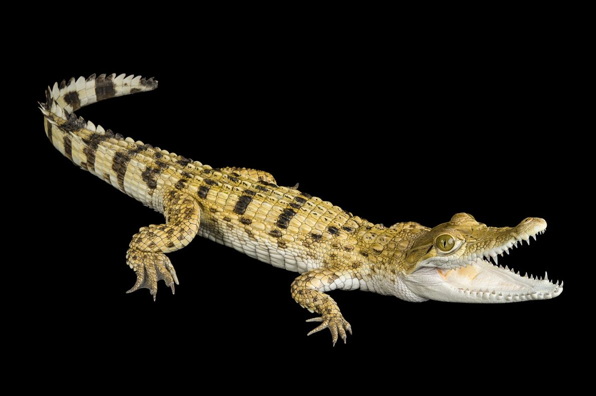 Status: Critically Endangered Smaller than others in the species, the Philippine crocodile ('Crocodylus mindorensis') is critically endangered ...