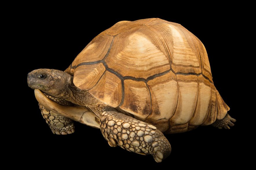 Status: Critically EndangeredWhile protected by law in Madagascar, the critically endangered ploughshare tortoise ('Astrochelys yniphora') sometimes ...