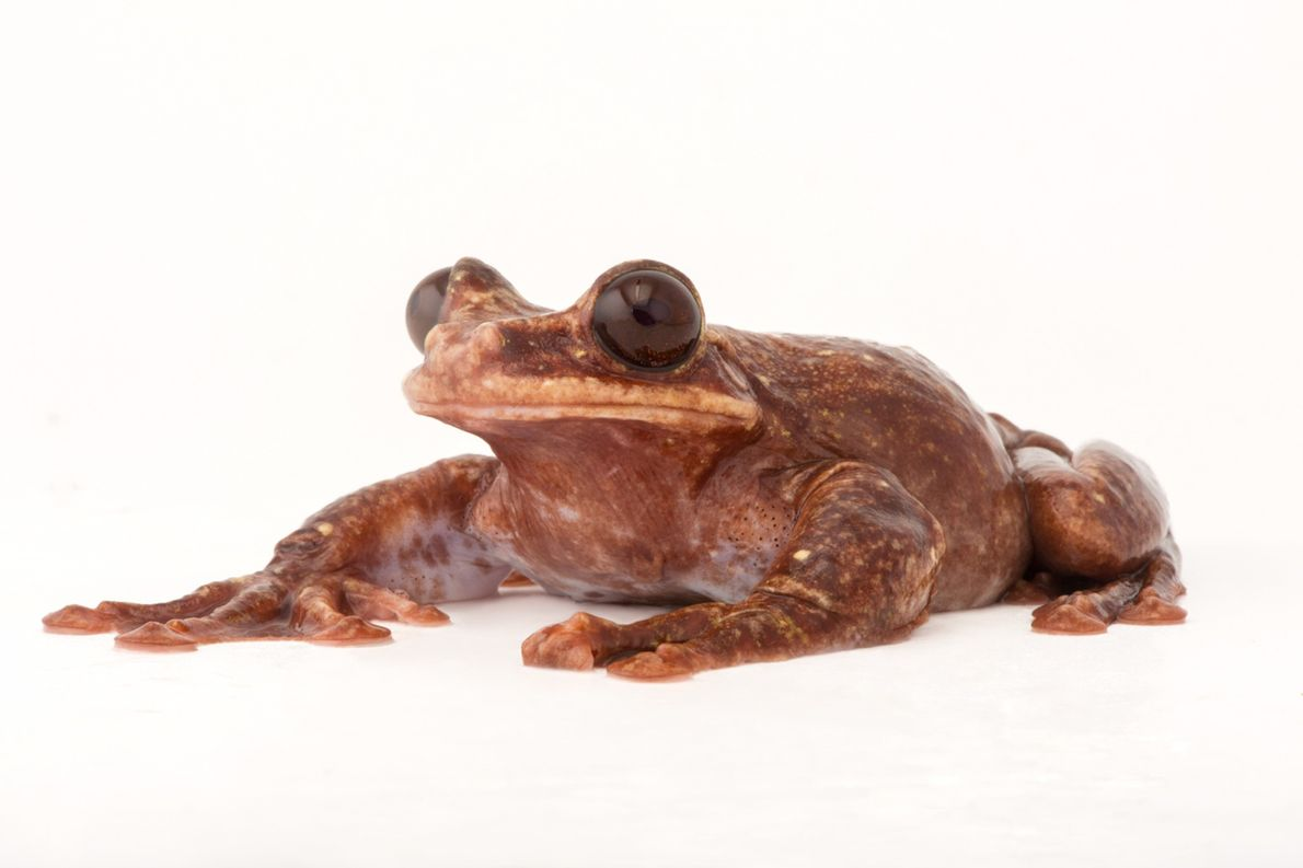 Status: Critically Endangered Believed to be the only living Rabb's fringe-limbed tree frog ('Ecnomiohyla rabborum'), this one ...