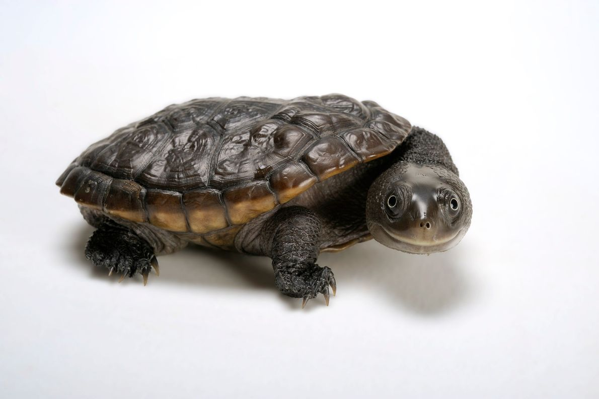 Status: Near Threatened A river dweller, the Reimann's snake-necked turtle ('Chelodina reimanni') is a near-threatened native of ...