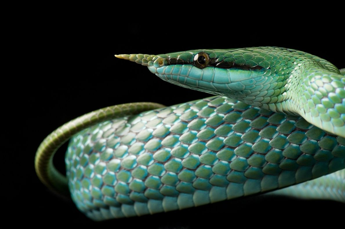 Status: Least Concern In the rain forests of Southeast Asia, the rhinoceros snake ('Rhynchophis boulengeri') dwells in ...