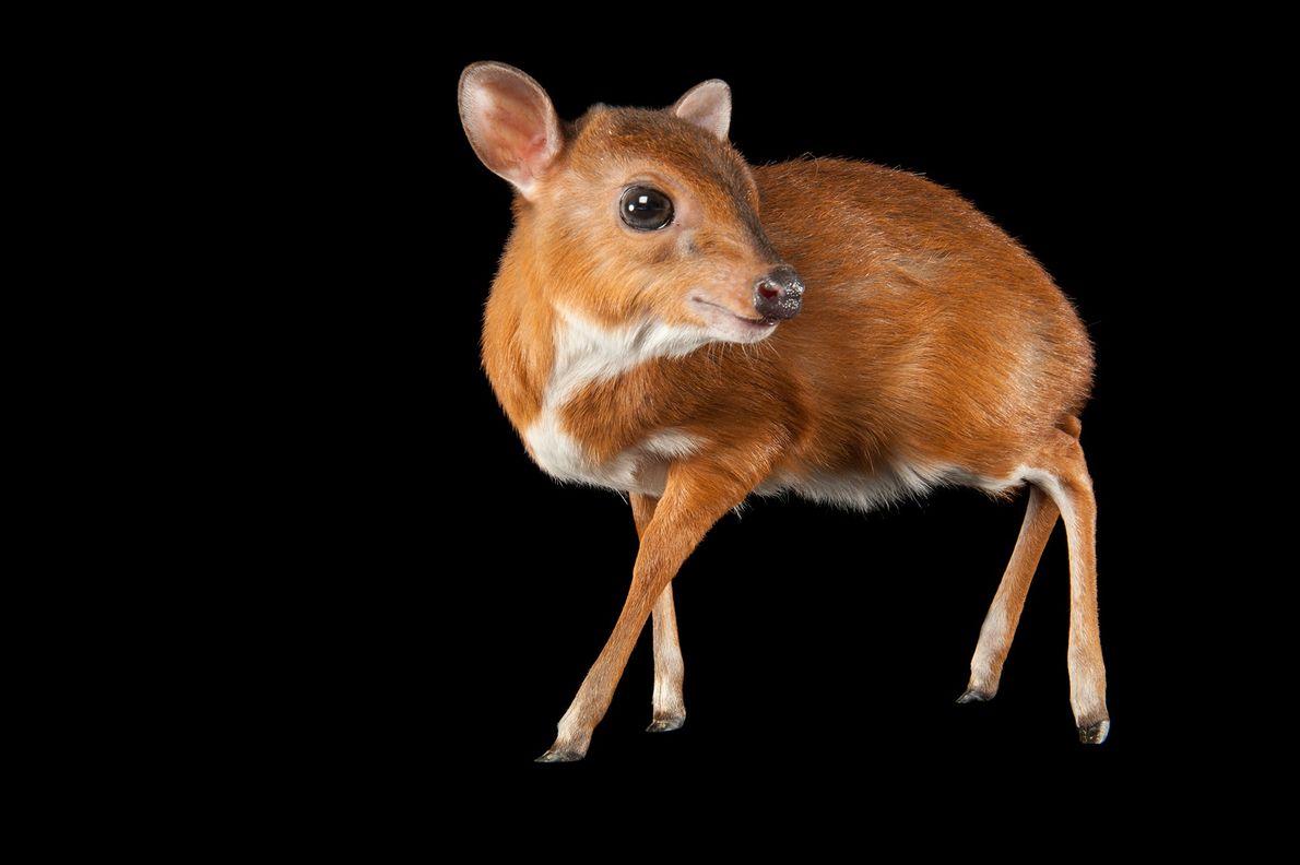 At four to five kilograms (nine to ten pounds), the royal antelope (Neotragus pygmaeus) is the ...