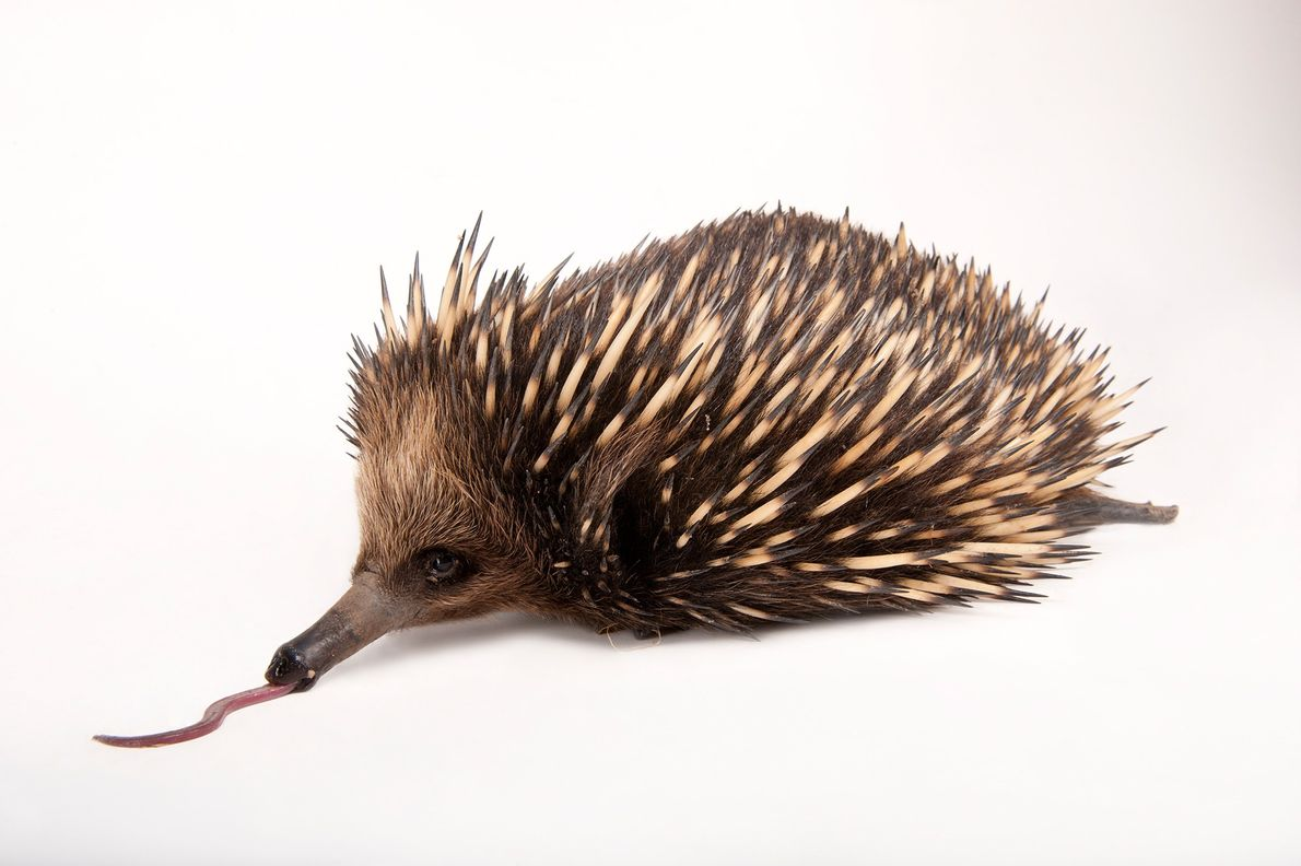Like the platypus, the short-beaked echidna (Tachyglossus aculeatus) is an egg-laying mammal. Young cling to hair ...