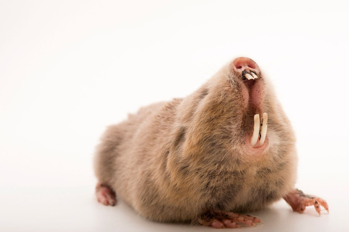 The silvery mole rat is a solitary African creature that custom tailors its burrows seasonally. In ...
