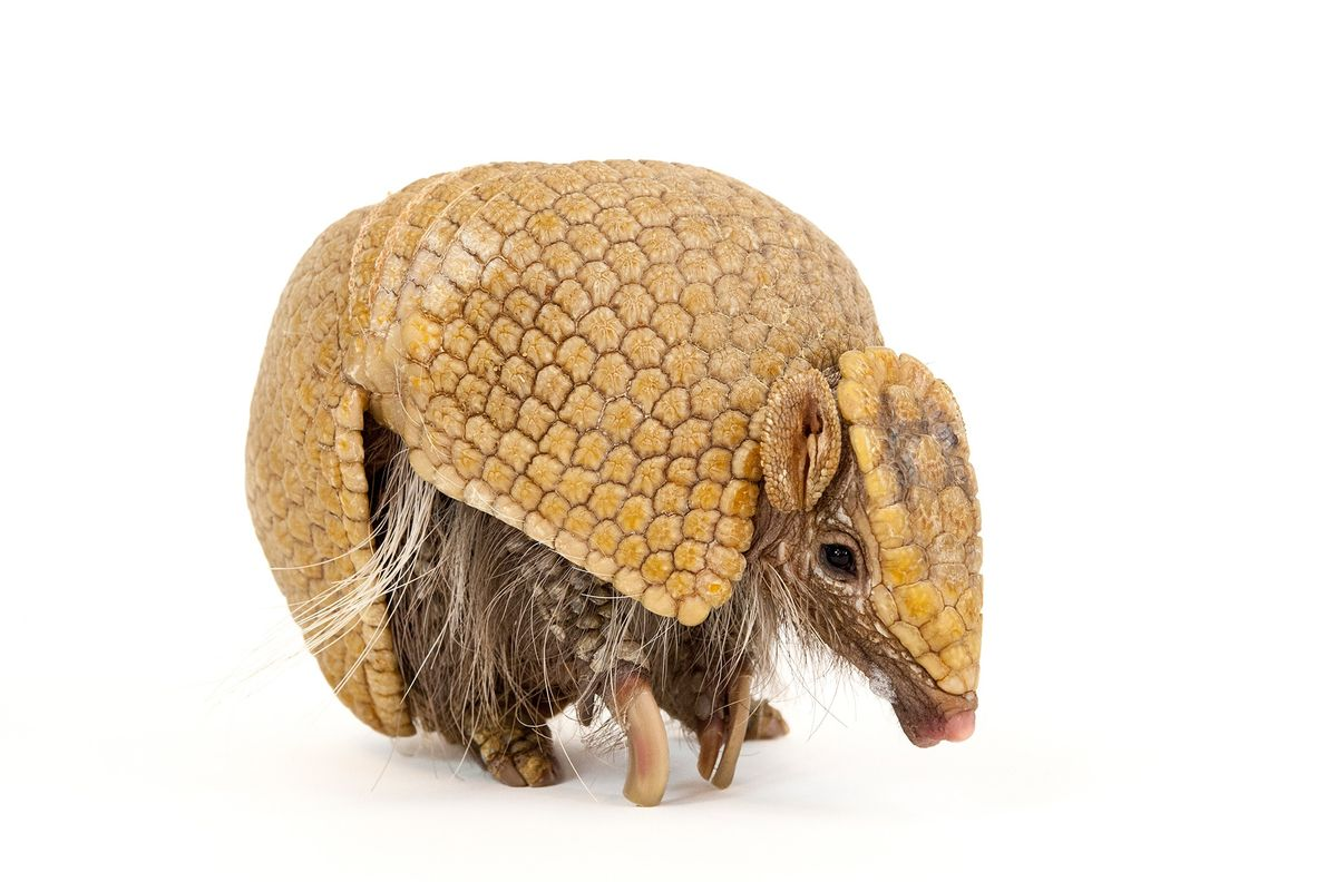 The southern three-banded armadillo (Tolypeutes matacus), which feeds on ants and termites, is the only armadillo ...