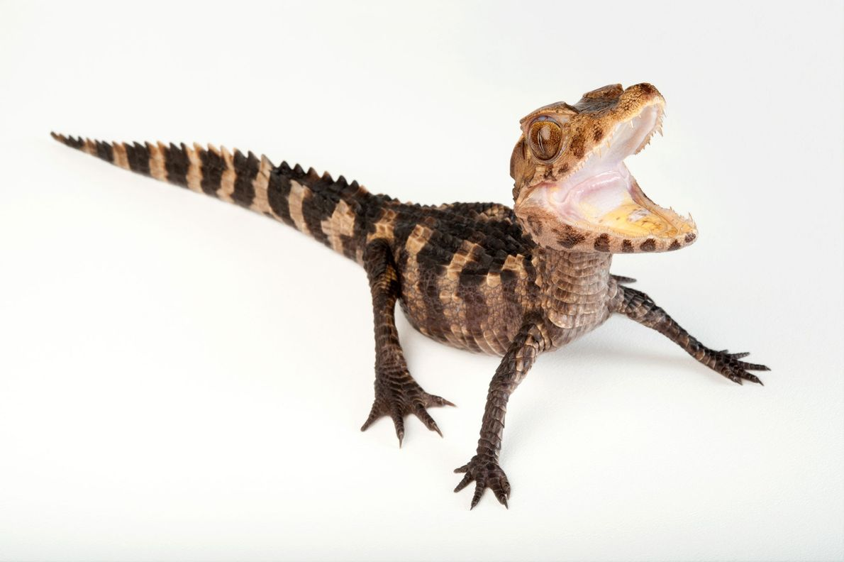 Status: Least Concern The dwarf caiman ('Paleosuchus palpebrosus') is the smallest of the alligator family, with males ...