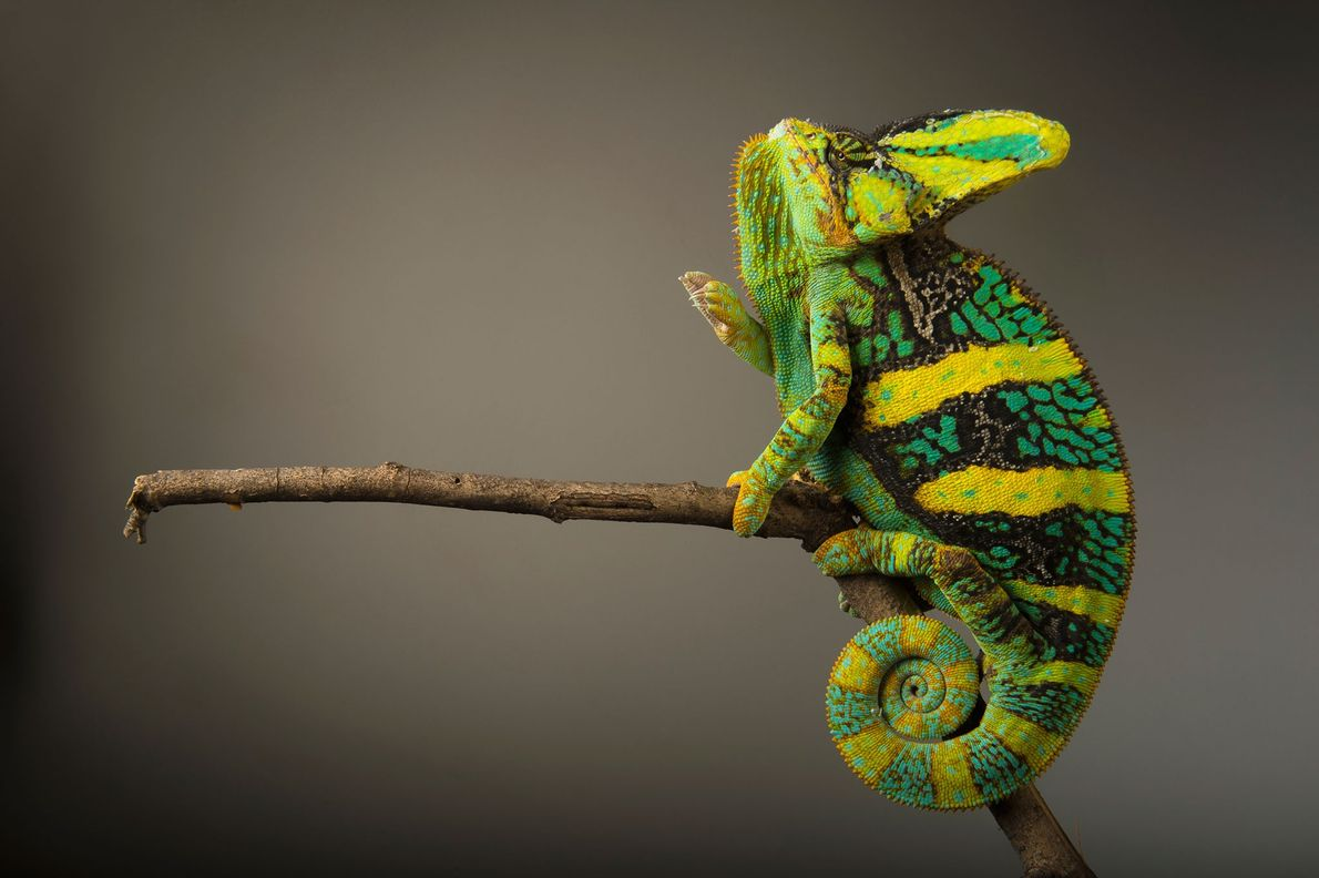 Status: Least Concern The brightly coloured veiled chameleon ('Chamaeleo calyptratus') remains still until prey nears, then rocks ...