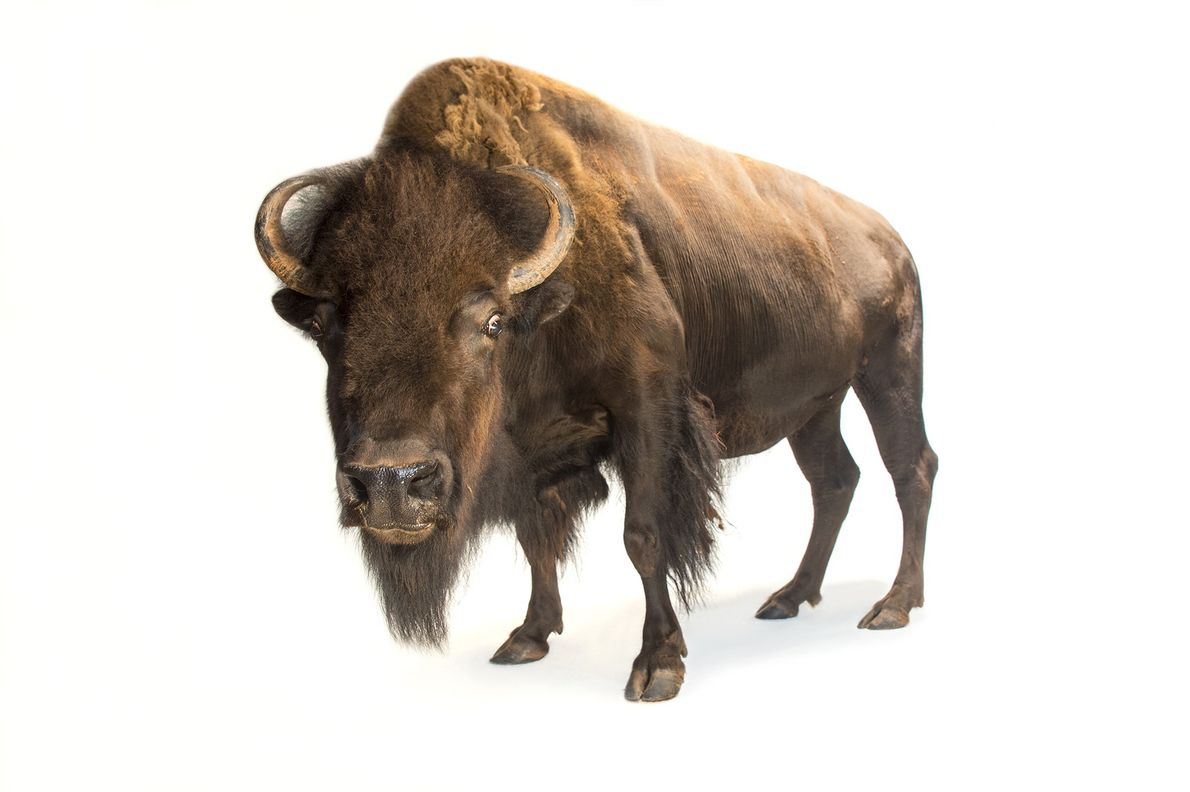 Some 50 million American bison (Bison bison) were killed for food and sport in the 19th century. ...