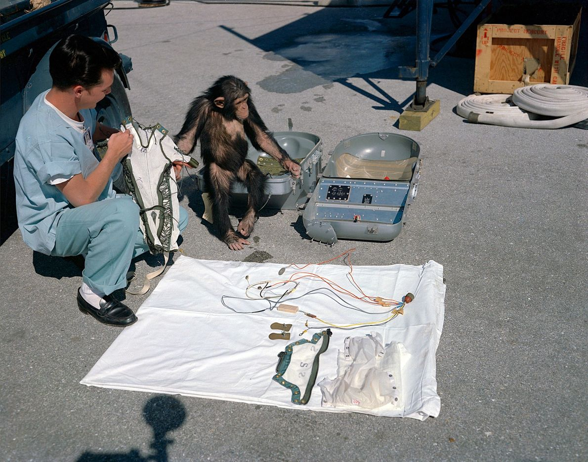 Ham – the first chimp in space – observes his equipment prior to his launch in ...