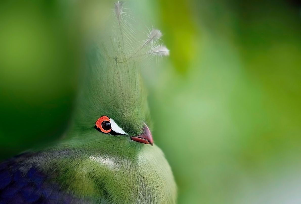 The turaco is a colourful, fruit-eating bird that lives in South Africa in groups of up ...