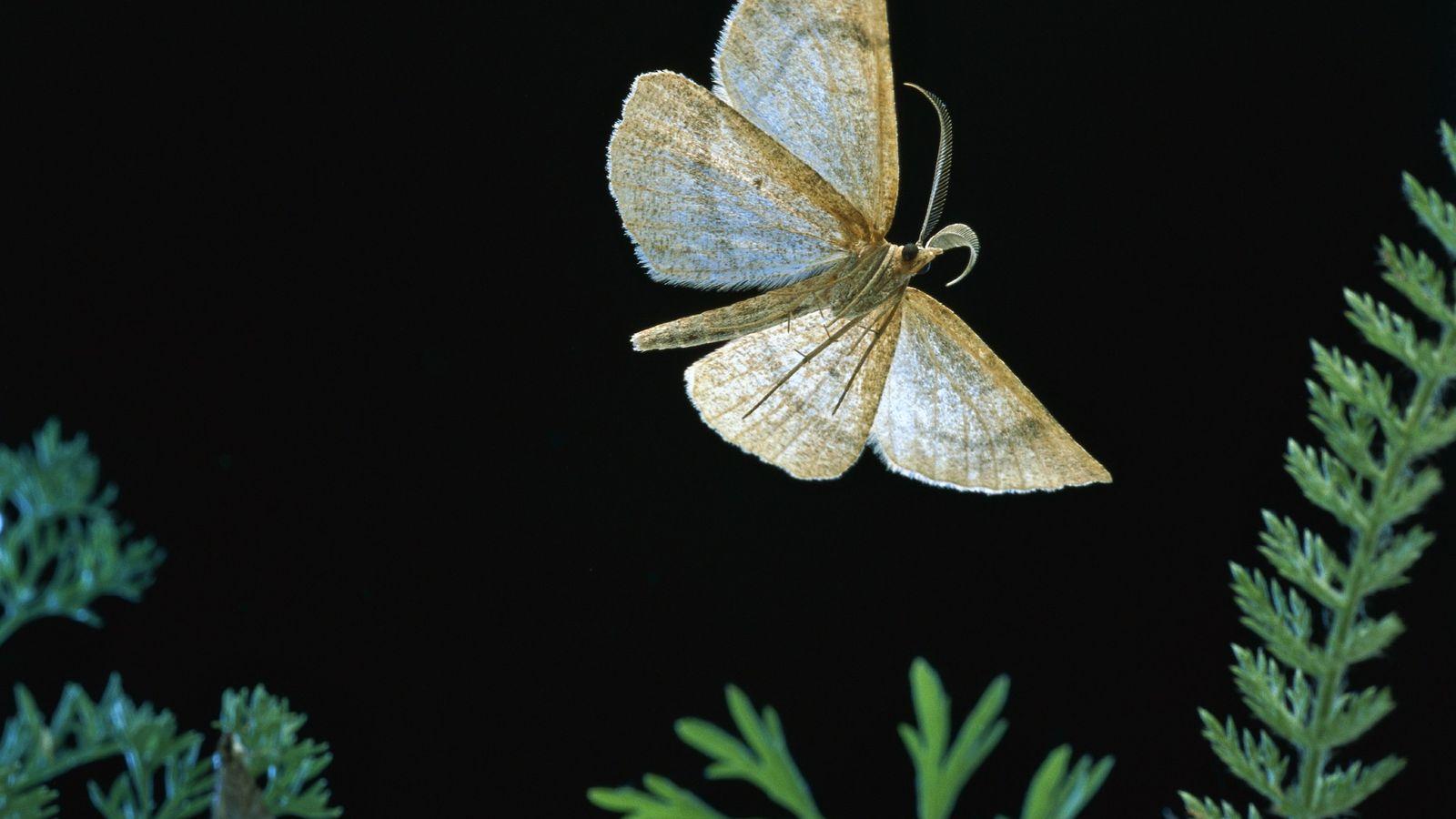 A looper moth, Macaria occiduuaria, flies in Mt. Hood National Forest, Oregon. As a caterpillar, the ...