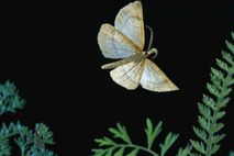 A looper moth, Macaria occiduuaria, flies in Mt. Hood National Forest, Oregon. As a caterpillar, the ...