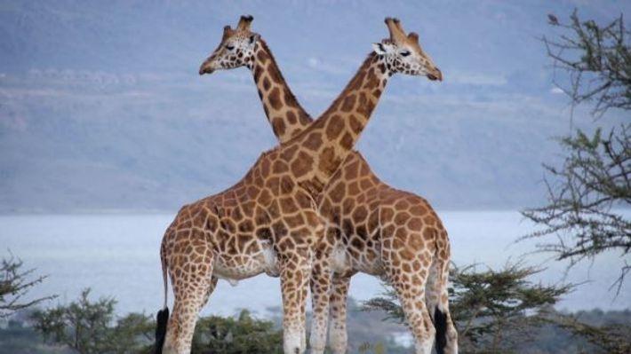 9 types of giraffes