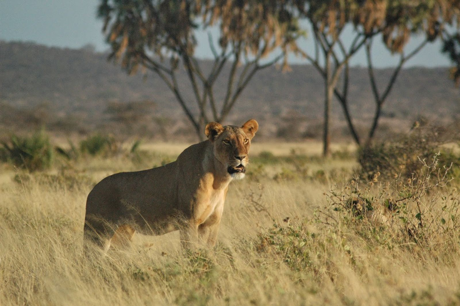 A lion in the Samburu National Reserve, Kenya.