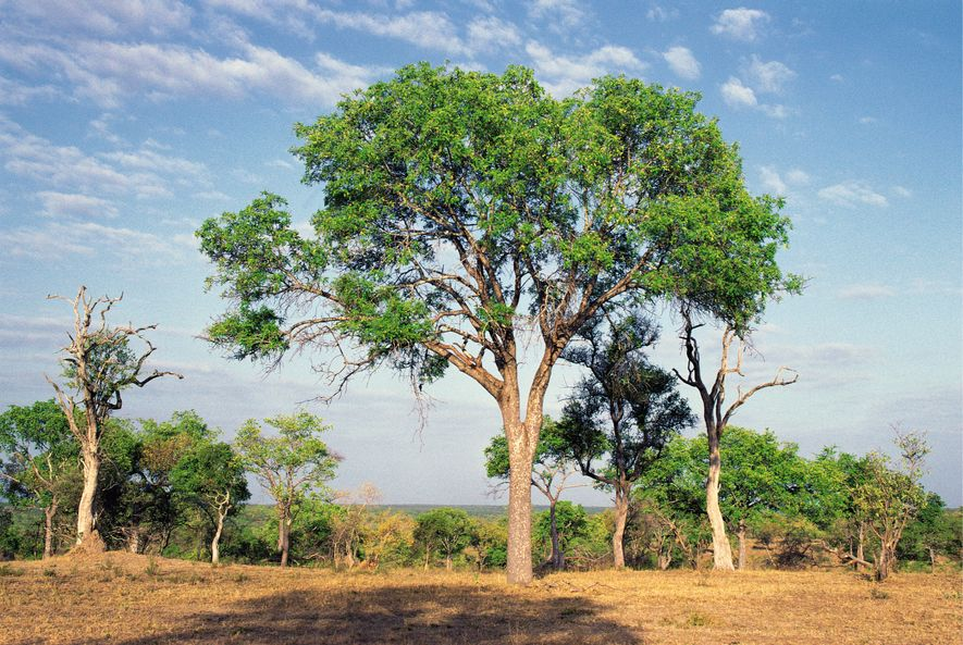 An ebony tree in Londolozi Game Reserve, South Africa. The tree has long been prized for its dark hardwood interior.