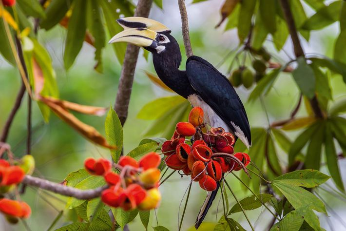 Sarawak has been dubbed the Land of the Hornbills, and with good reason; of the 54 ...