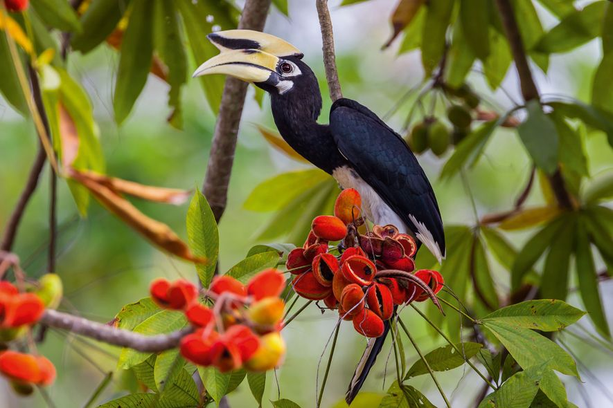 Sarawak has been dubbed the Land of the Hornbills, and with good reason; of the 54 species of hornbills in the world, eight can be found in the jungles here.