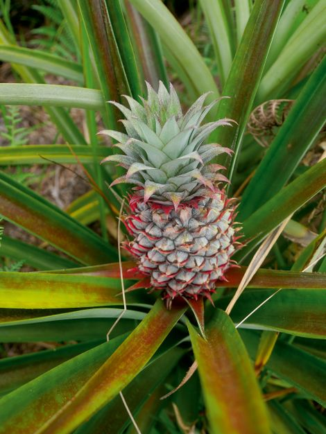 Bario's pineapples are well known for for being incredibly juicy and sweet.