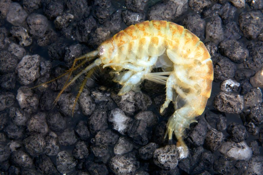 Hardy, omnivorous Ponto-Caspian species such as the killer shrimp can cause 'invasion meltdown' of an ecosystem ...