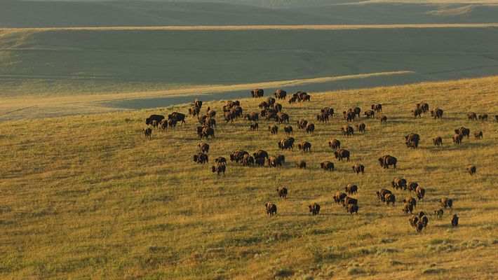 5 Iconic Animals of Yellowstone