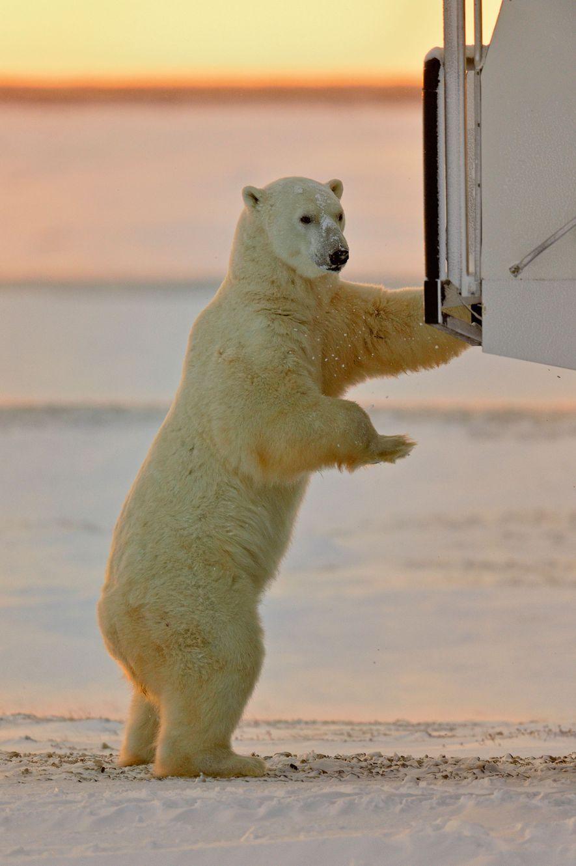 Polar bear investigating a Tundra Buggy in Churchill
