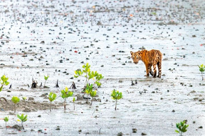 West Bengal tiger in the mangroves of Sundarbans, India