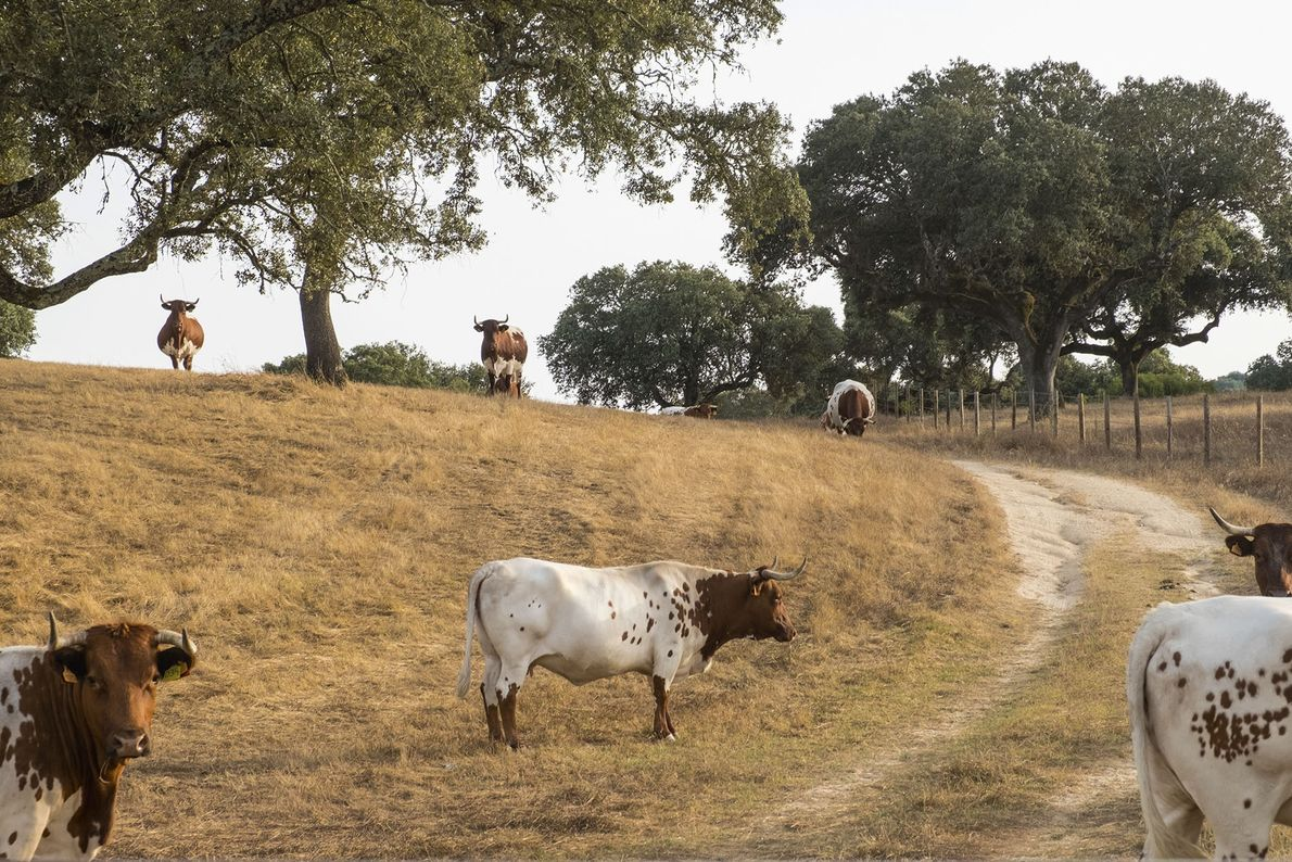 Cows grazing near Évora.