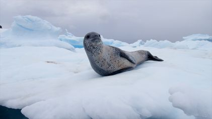 Watch Leopard Seals Play and Hunt in Antarctica