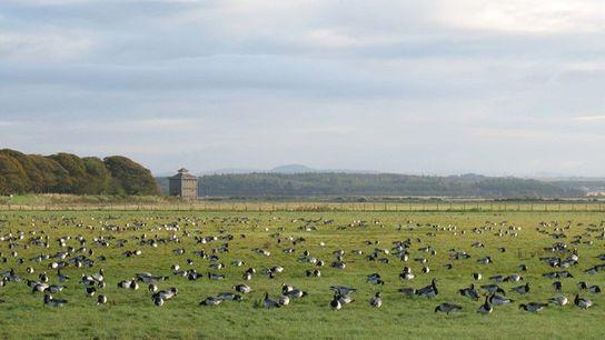 Barnacle geese, Scotland.