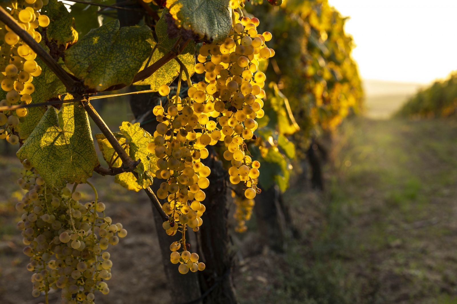 The famed Tokaj region in northeastern Hungary is best known for its dry Furmint and sweet ...