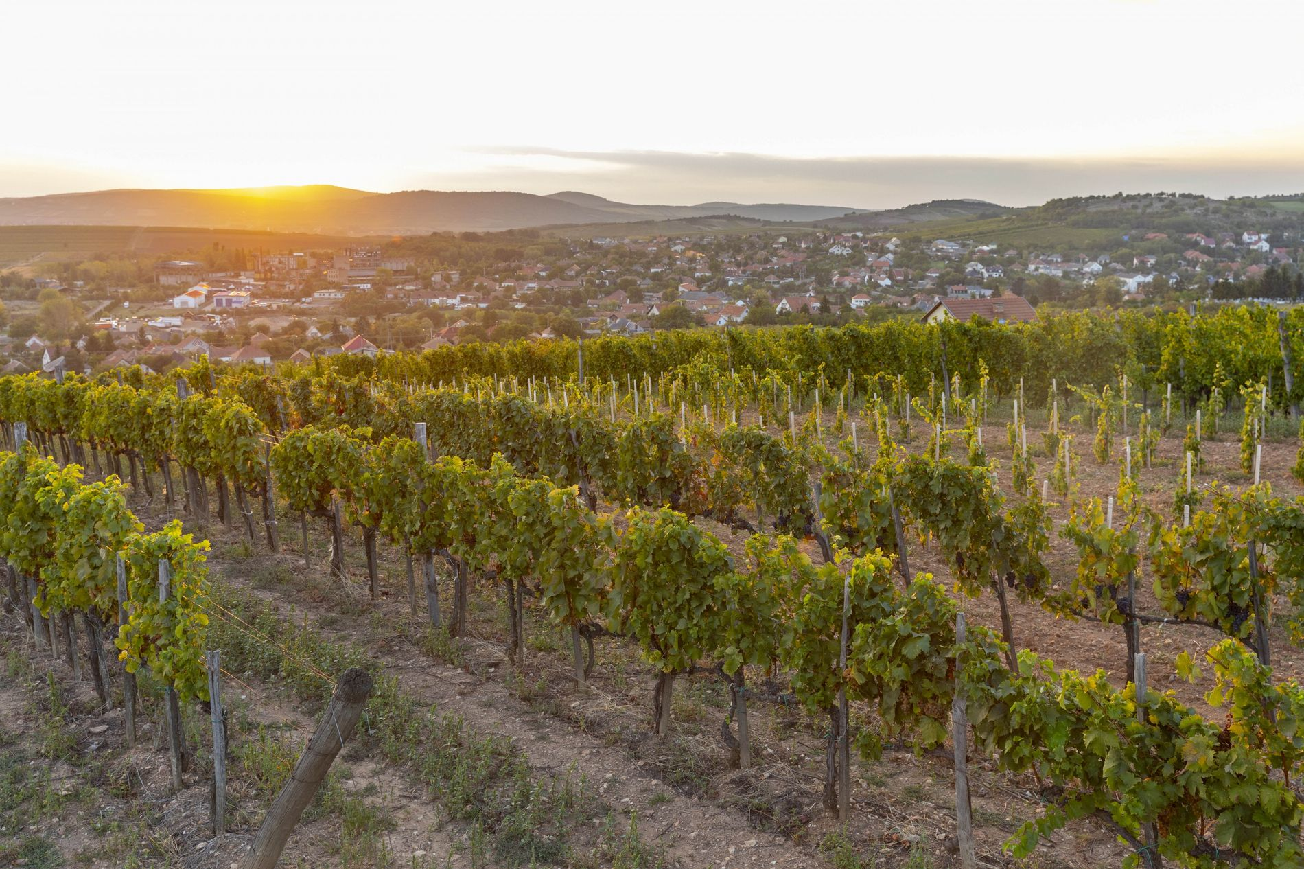 The sun sets over the Tokaj vineyards. Wines from this area are distinctive, due to the ...