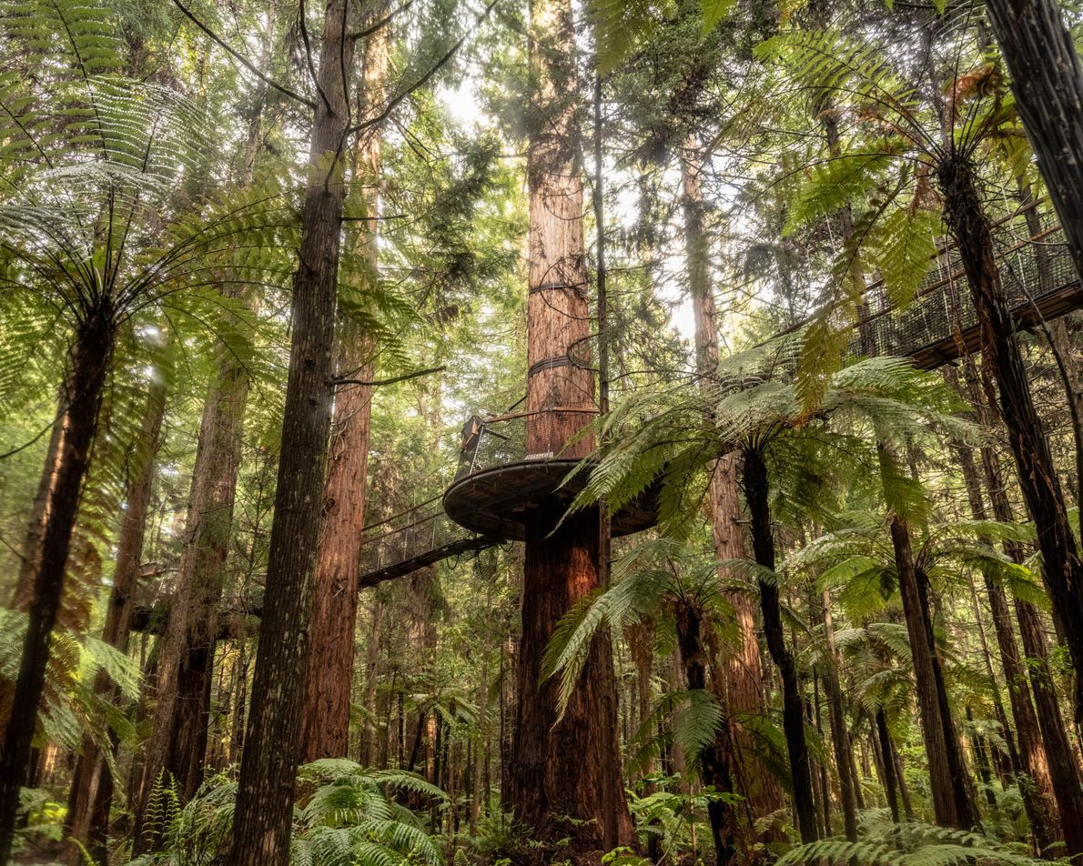 Whakarewarewa Forest, located in Rotorua, can be explored by day or night from high up via ...