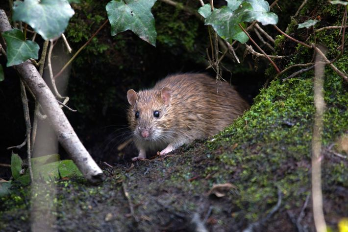 The brown rat is likely an invader to UK shores from Europe – but it's rat ...