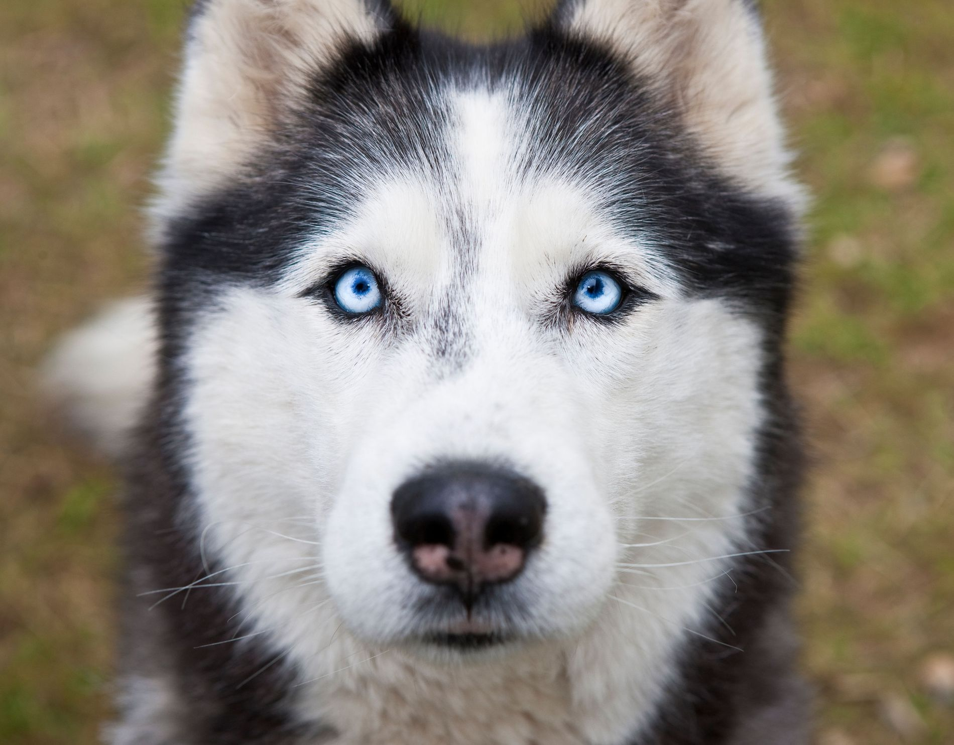 A Siberian husky–the 'media effect' of Game of Thrones has resulted in a high turnover of ...
