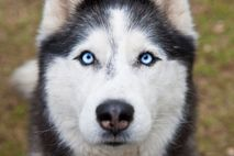 A Siberian husky – the 'media effect' of Game of Thrones has resulted in a high turnover of ...