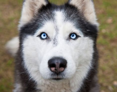 In Game of Thrones fans' pursuit of real-life dire wolves