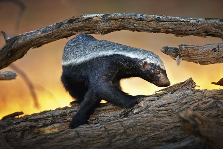 Honey badger. Image: Getty