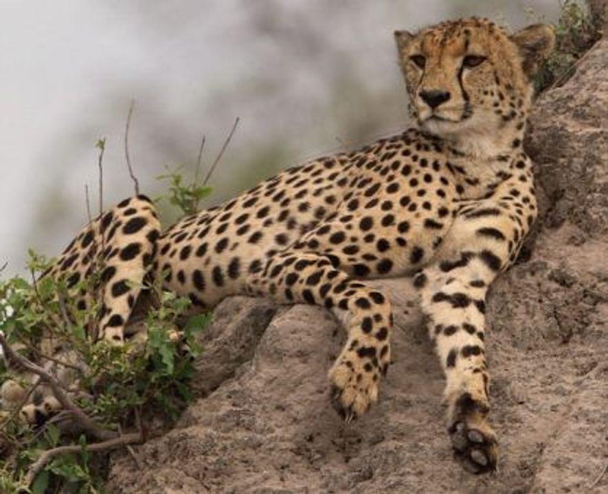 Cheetah. Image: Getty