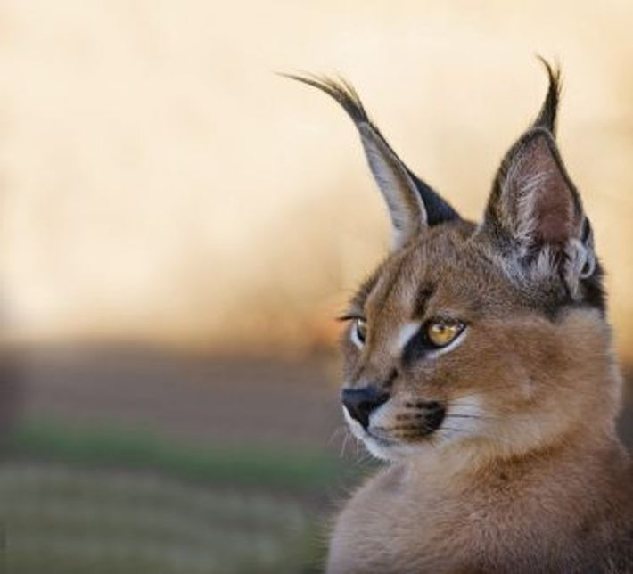 Caracal. Image: Getty