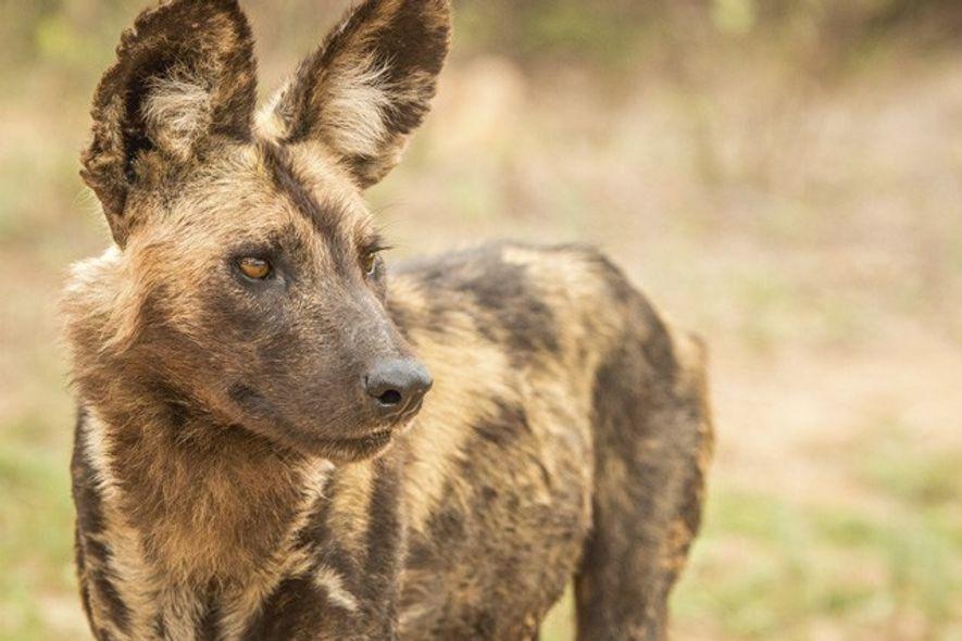 African Wild Dog. Image: Getty