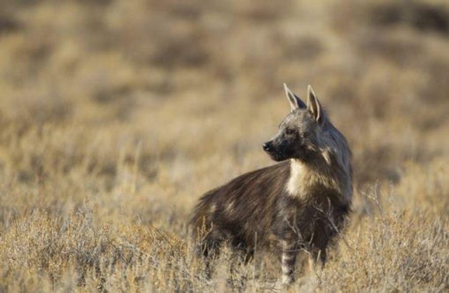 Hyena. Image: Getty
