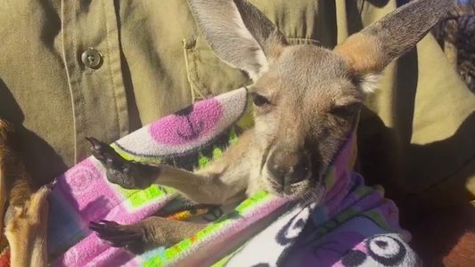 Watch a Rescued Baby Kangaroo Chill in a Handmade Pouch